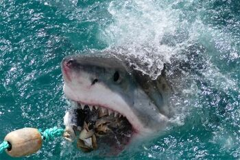 Great White Shark Gansbaai Gans Bay