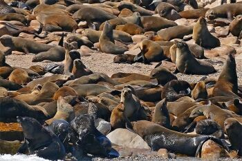 Seals Geyser Rock Gansbaai