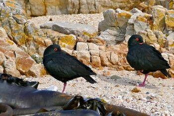 Black Oystercatchers, Franskraal near Gansbaai